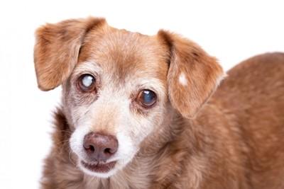 目が白く濁ってしまった犬