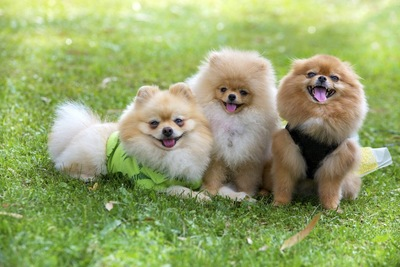芝生の上で寄り添う三頭のポメラニアン