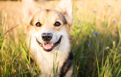 笑顔でこちらを見つめるコーギー