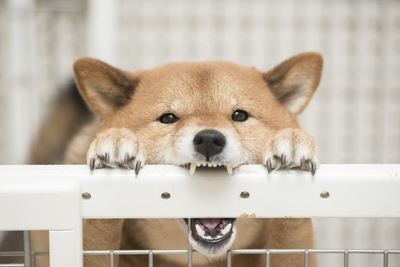 戯れる柴犬