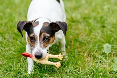 芝生の上でおもちゃを咥えて遊ぶ犬
