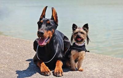 ドーベルマンと小型犬