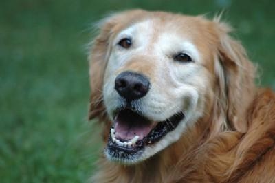 こちらを笑顔で振り返るゴールデンレトリバー