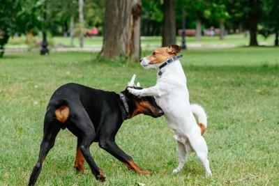 ドーベルマンの子犬とジャックラッセルテリア
