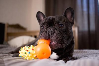 ベッドの上でおもちゃで遊ぶ犬