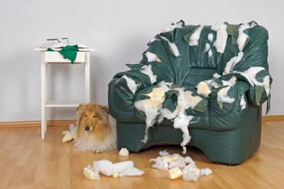 ソファーを破壊したコリー犬