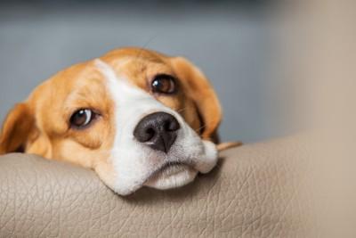 顎を乗せるビーグル犬