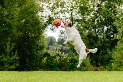 ジャンプしてボールを口でキャッチしようとしている犬