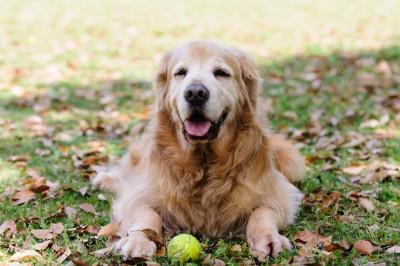 落ち葉の上に伏せて笑顔のゴールデンレトリーバー