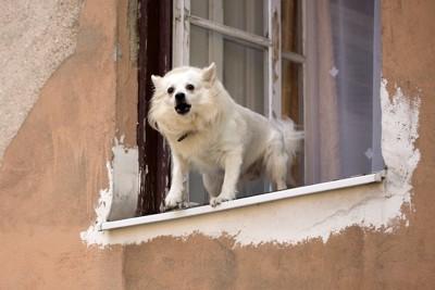 開いている窓から外に向かって吠えている白い犬