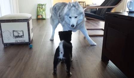 向かい合っているハスキーと柴犬