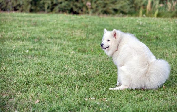 芝生でウンチ中のサモエド