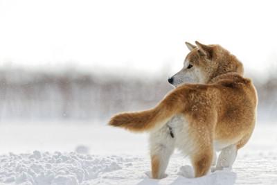 雪の中、振り返る柴犬の後ろ姿