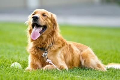 芝生の上で満足げなゴールデンレトリバー