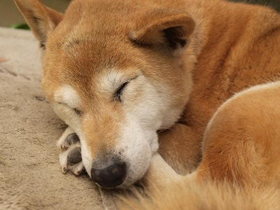 寝ている老犬