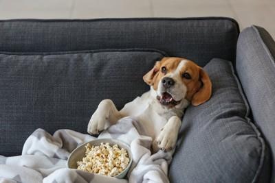 ソファーでポップコーンを抱えて寛ぐビーグル犬