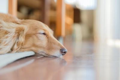床で眠るダックスフンドの横顔