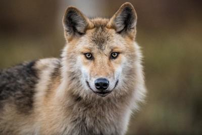 オオカミの正面顔
