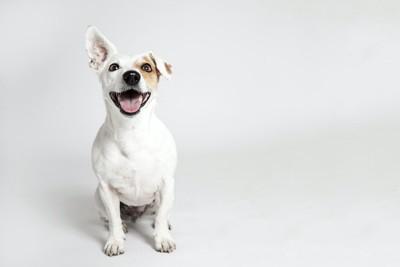 笑顔で座っている片耳が折れた犬