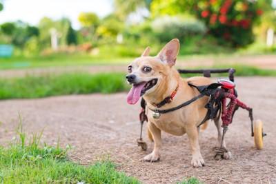 舌を出して立つ車椅子の犬
