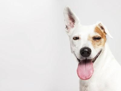 片耳をあげている犬