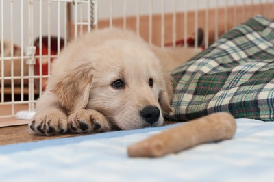 ケージの中のゴールデンの子犬