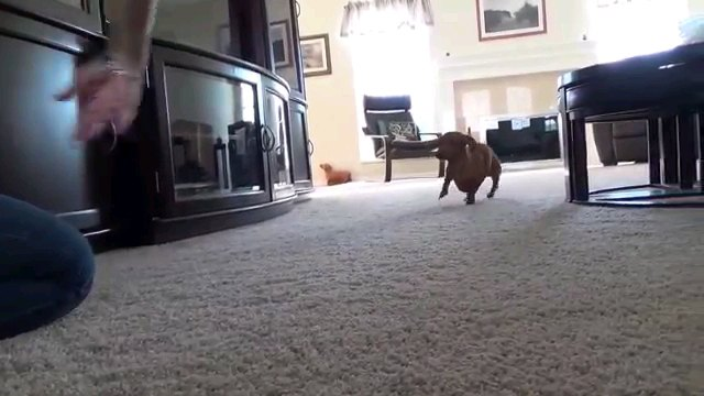 後ろに下がる犬
