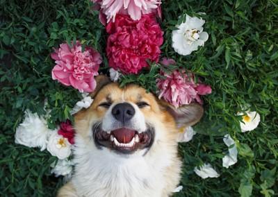 花に囲まれた笑顔のコーギー