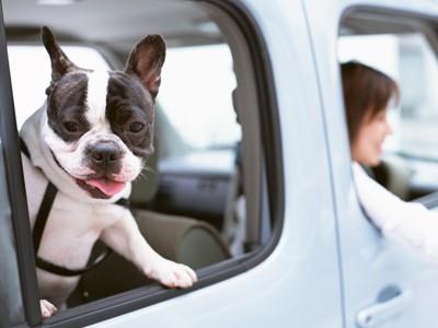車で出かける犬