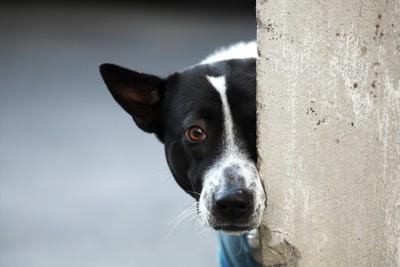 壁からこちらを見る白黒犬