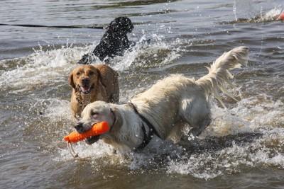 水遊びをするレトリーバーたち