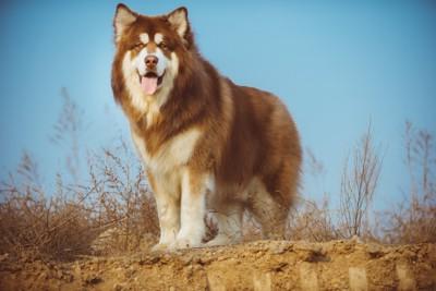 アラスカの犬