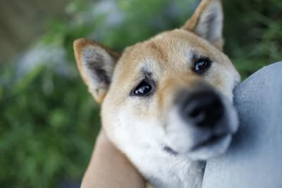 飼い主の足に顎を乗せてアピールする柴犬