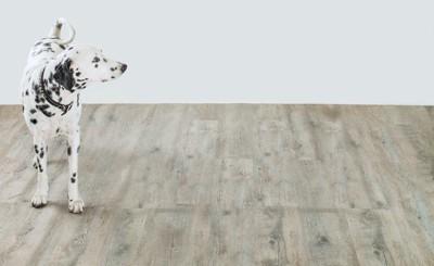 フローリングの床の上に立つ犬