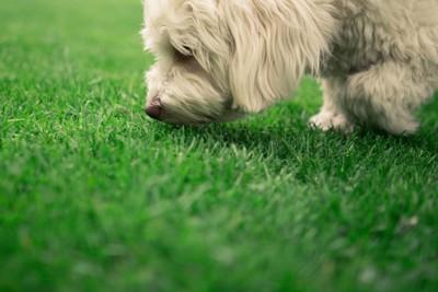 芝生のにおいを嗅ぐ犬