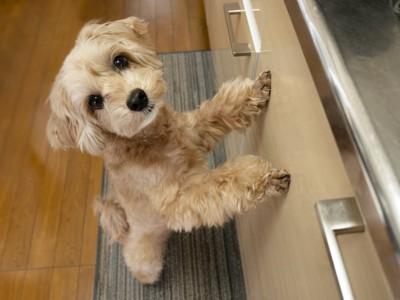 キッチンで立ち上がるマルプー
