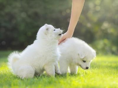 二頭の白い子犬と背中を撫でる人の手