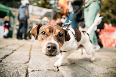 人の多い道をオンリードで散歩する犬