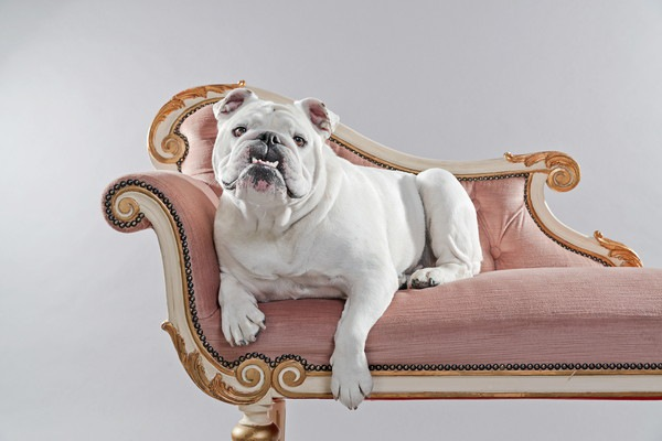 ソファに座っているブルドック