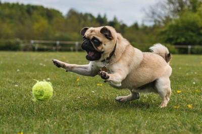 ボールで遊ぶパグ