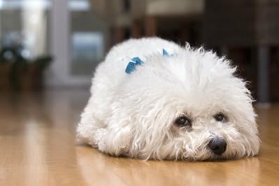 伏せて不満げにこちらを見ている犬