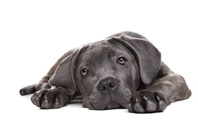カラダを伏せている垂れ耳の子犬