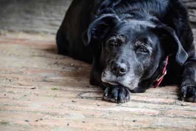 床に伏せてこちらを見つめる老犬