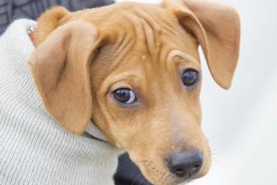 眉を寄せる犬