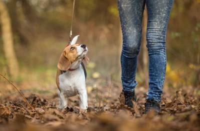 散歩中に飼い主とアイコンタクトを取る犬