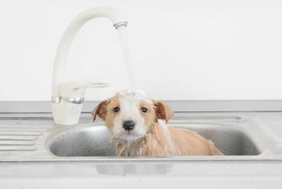 洗面台?水を浴びている子犬