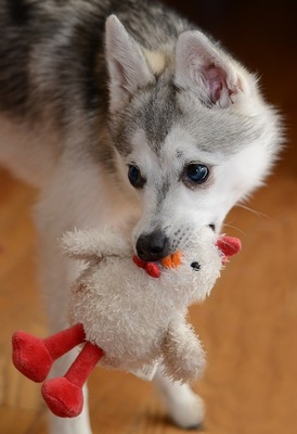 鶏のぬいぐるみを加えた犬