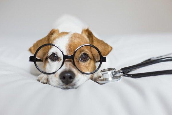 眼鏡をかけたジャックラッセルと聴診器