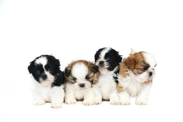 4匹の子犬のシーズー