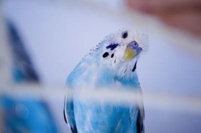 首を傾げる青いセキセイインコ